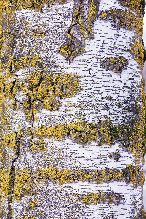 Tree Texture 06