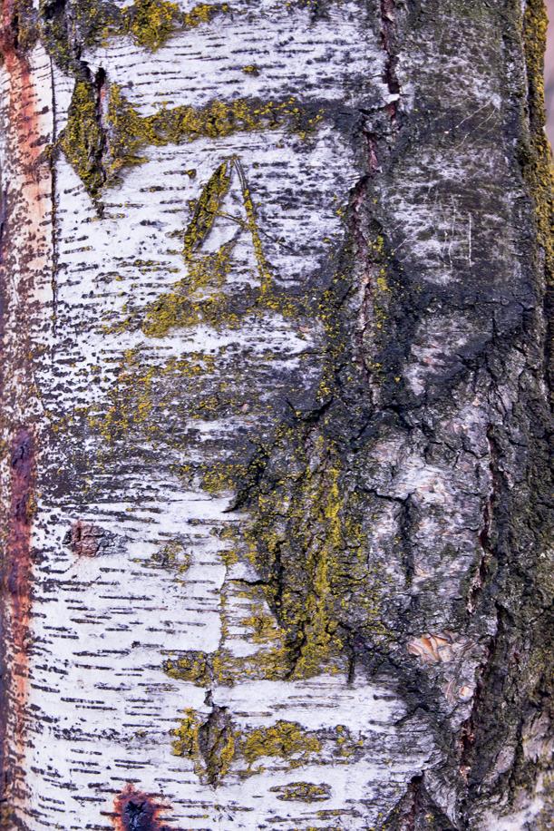 Tree Texture 01