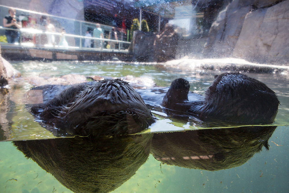 Two adorable sea otters floating together in front of patrons at the Vancouver Aquarium.