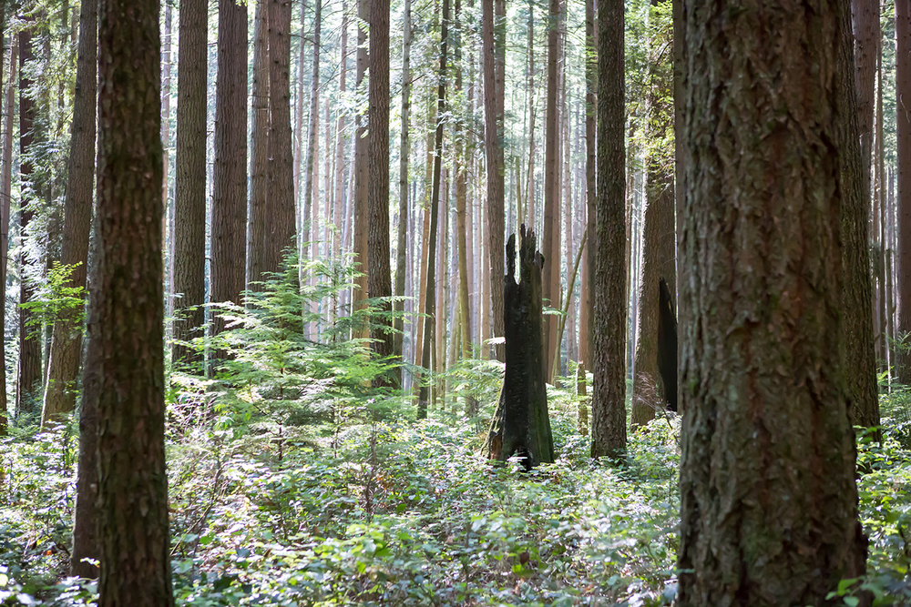 A serene forest scene of deep woods and fern plant life captured at Pacific Spirit Regional Park.