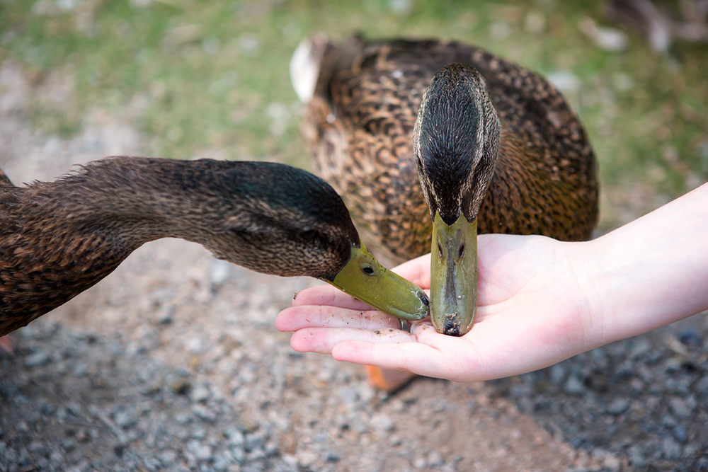 Two American Black Ducks being hand fed at the George C. Reifel Bird Sanctuary.
