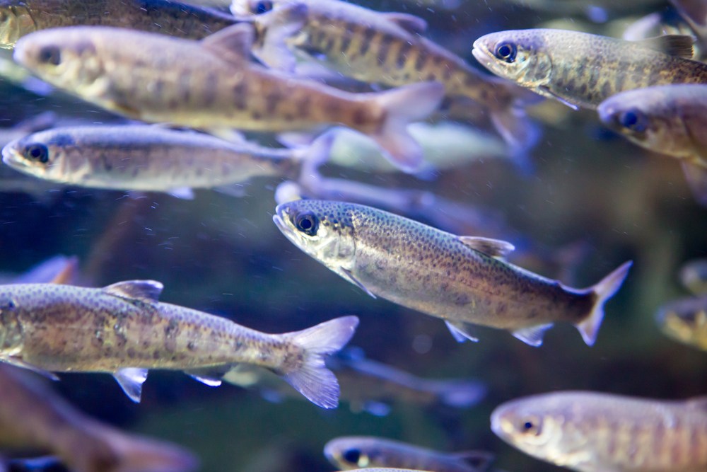 A school of silver and blue fish swimming together at the Vancouver Aquarium.