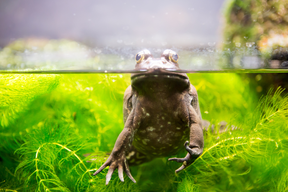 An amphibious frog peering its head out of the water at the Vancouver Aquarium.