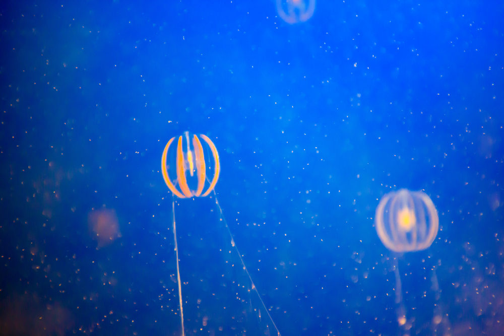 Two fragile, striped jellyfish swimming in speckled water at the Vancouver Aquarium.