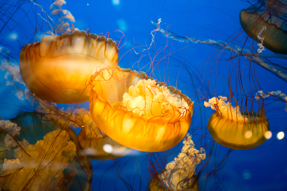 Vibrant orange jellyfish swimming upside down against a deep blue background at the Vancouver Aquarium.