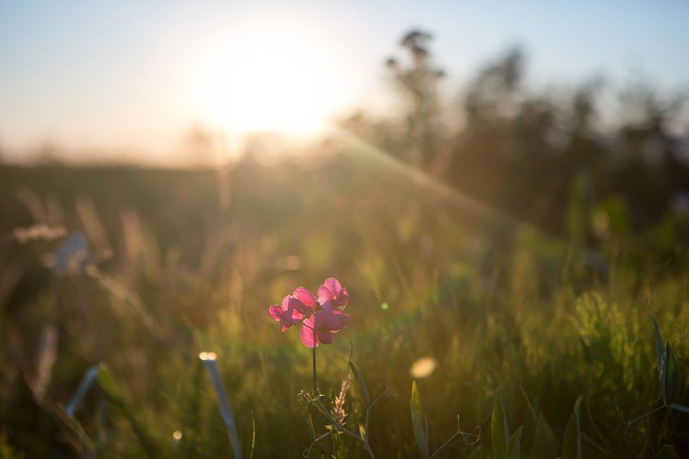 A pink flower and grassy plants being back lit during sunset at Iona Beach Regional Park.