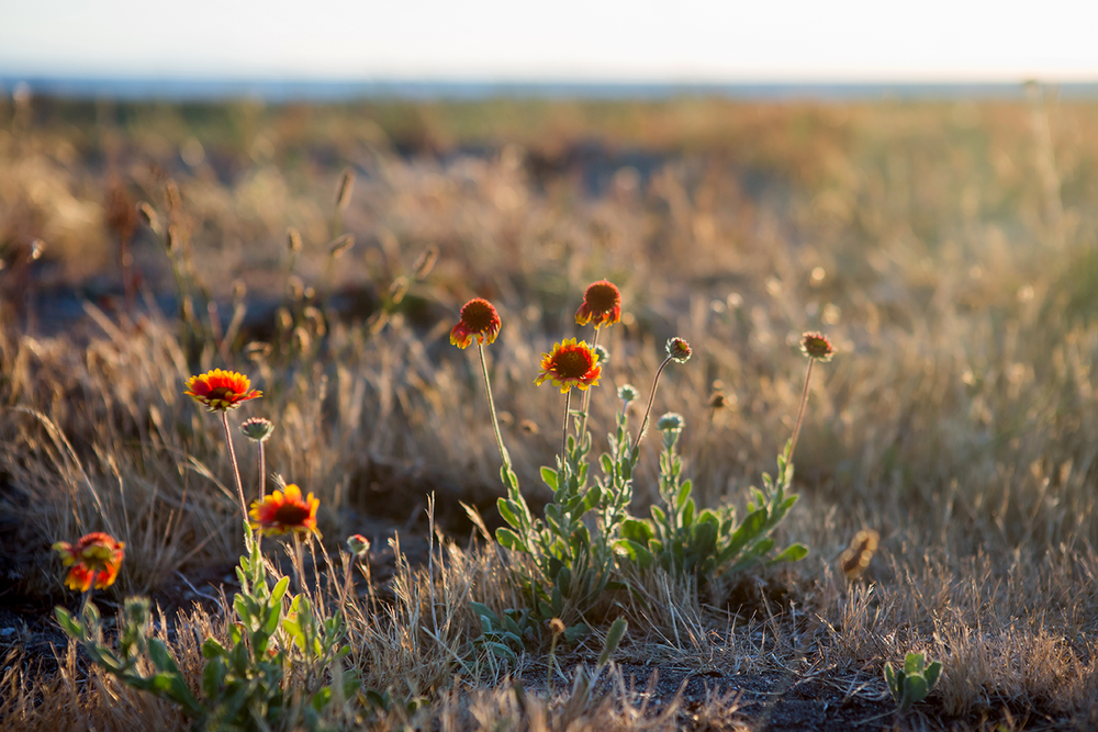 Several orange and yellow wild flowers being back lit during sunset at Iona Beach Regional Park.