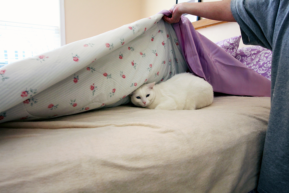 Pink and white bed sheet covers being lifted to reveal a white cat hiding underneath them.