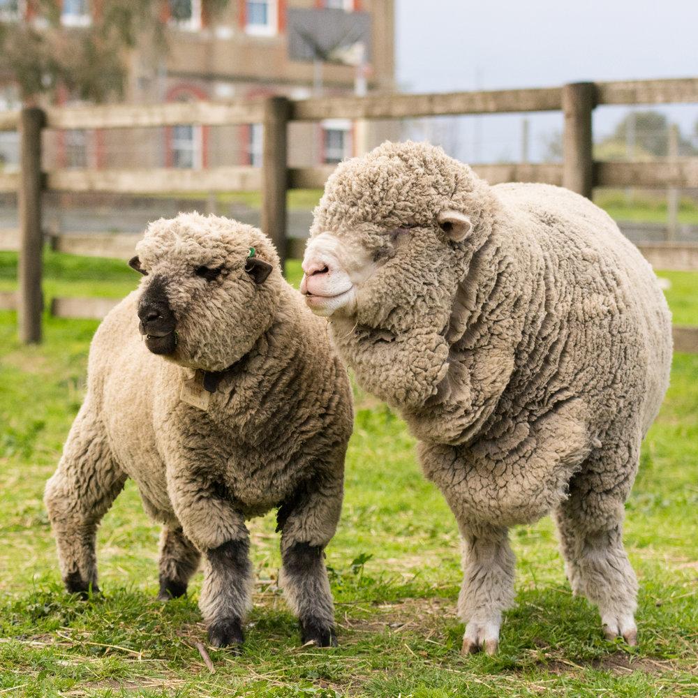 animals and rare breeds farming 30.10.18.jpg