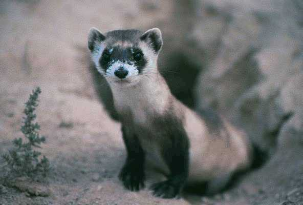 black-footed ferret   (Mustela nigripes) Image from US Wildlife & Fisheries (fws.gov)