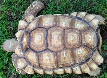 African spurred tortoise (Centrochelys sulcata)