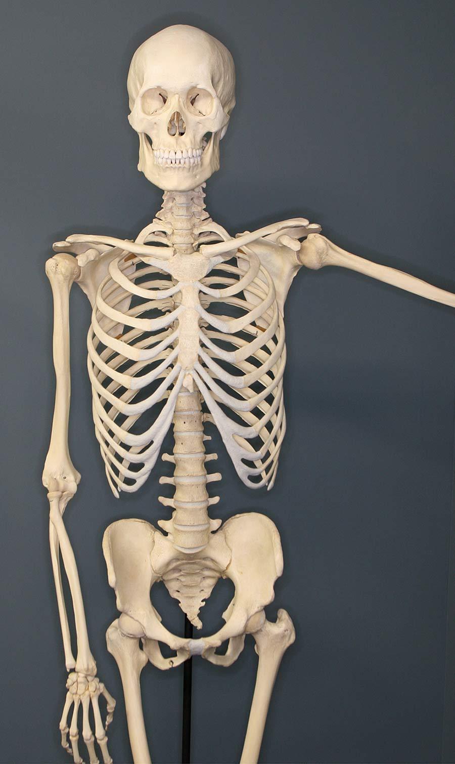 Human Skeleton Homo sapiens