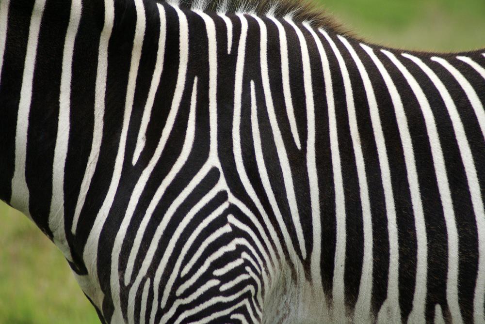 Grevy's zebra Equus grevyi