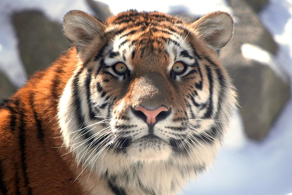 amur(Siberian) tiger Panthera tigris altaica