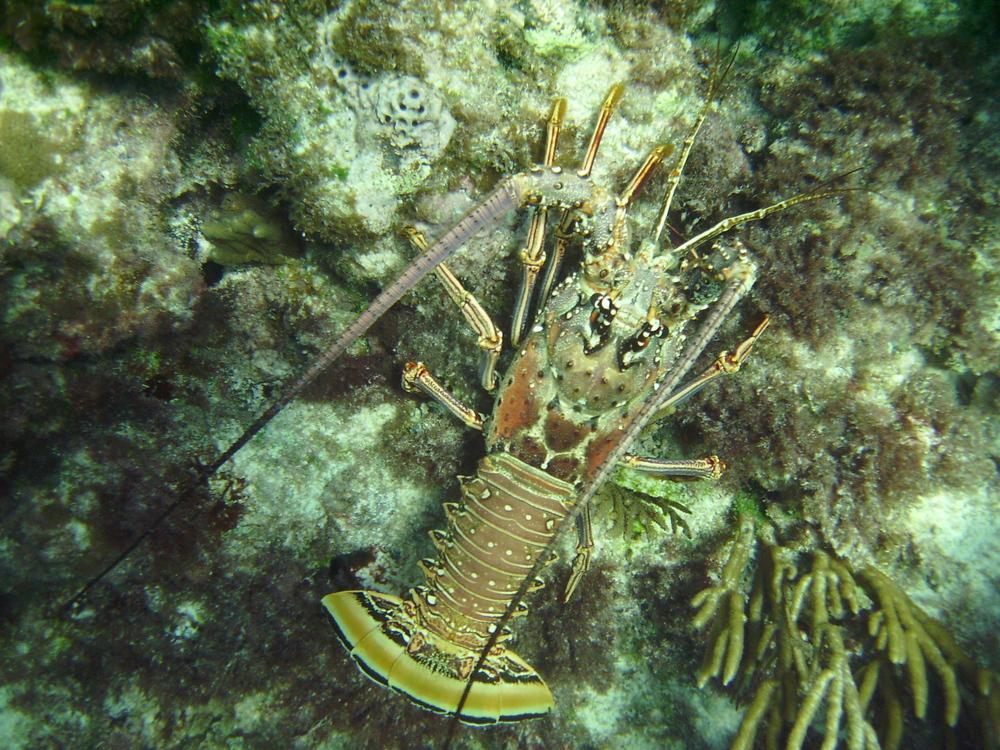 Caribbean spiny lobster Panulirus argus