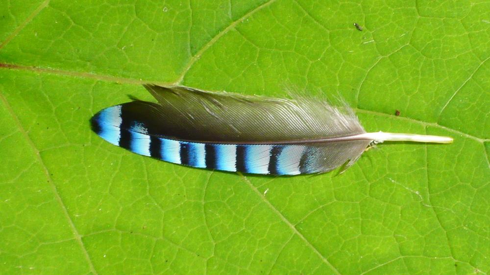 Eurasian jay Garrulus glandarius