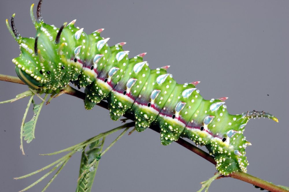 Hubbard's Small Silkmoth Caterpillar Sphingicampa hubbardi