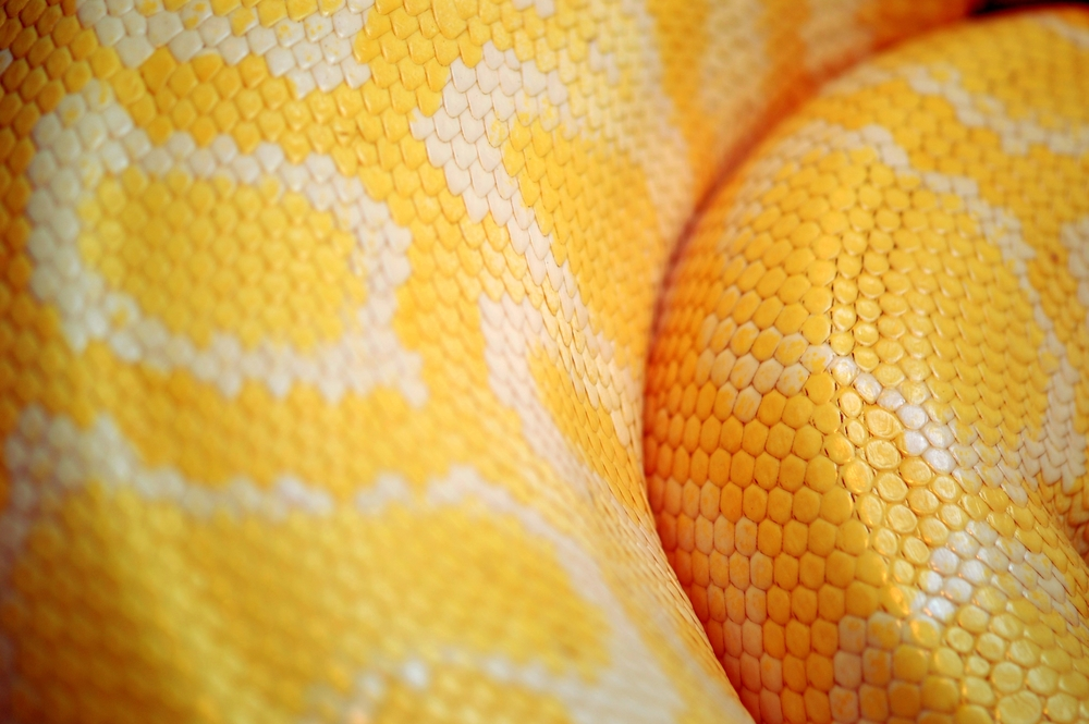 Albino boa constrictor Boa constrictor