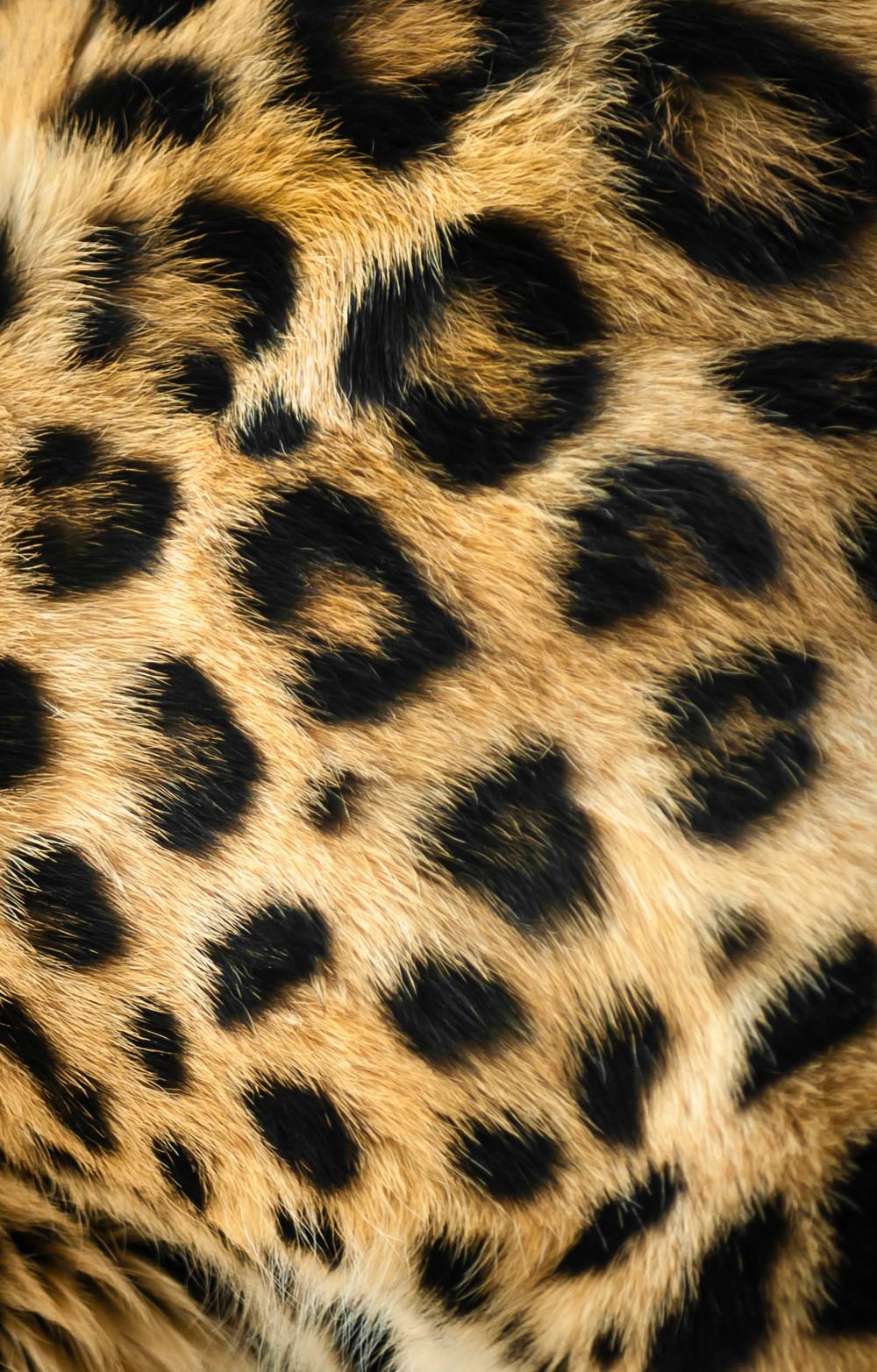 amur leopard Panthera pardus orientalis