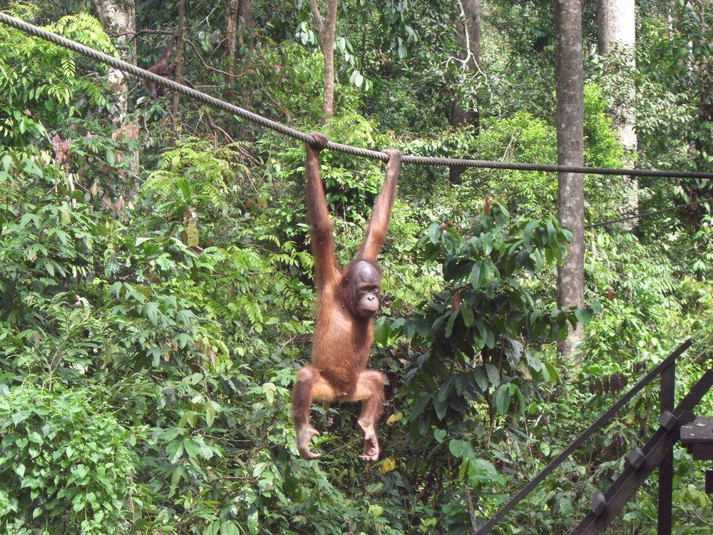 Bornean orangutan Pongo pygmaeus