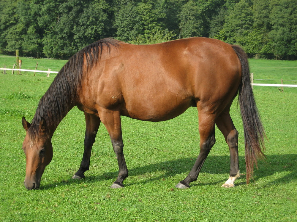 American quarter horse Equus ferus caballus