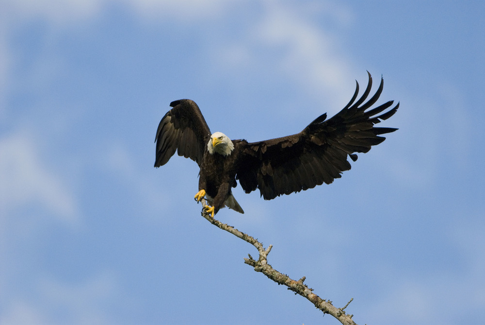 bald eagle  Haliaeetus leucocephalus.jpg