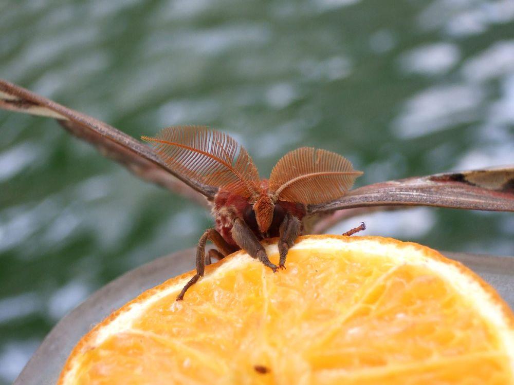 moth antenna
