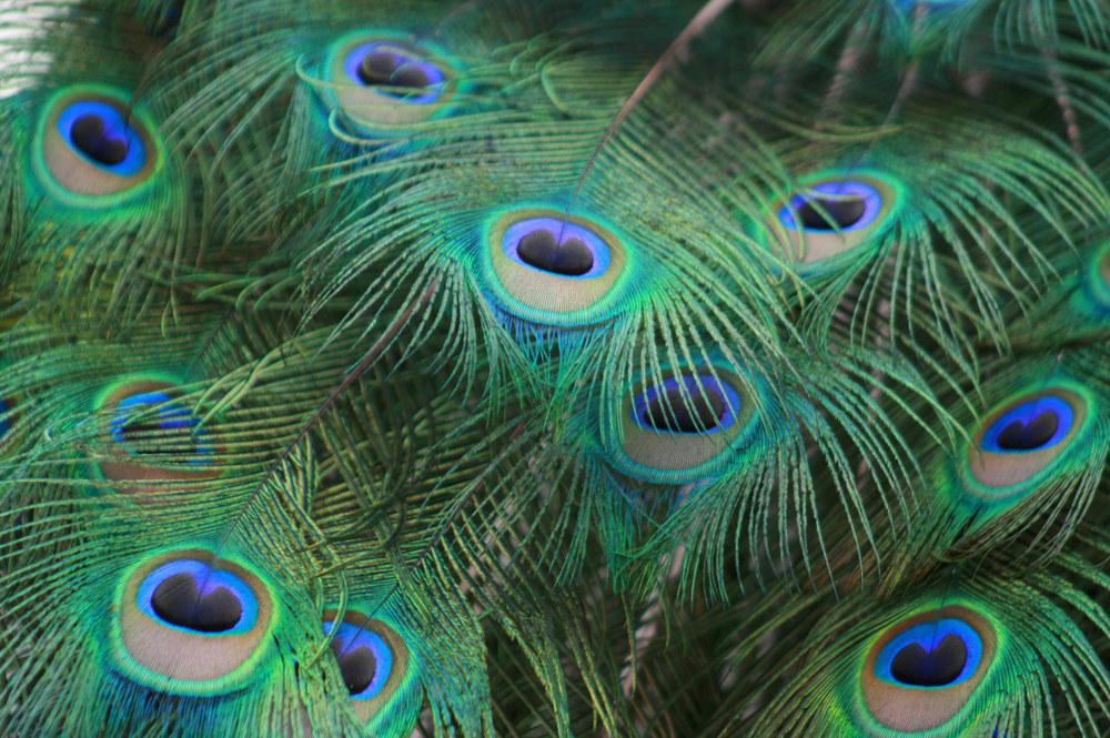 indian peacock feathers Pavo muticus