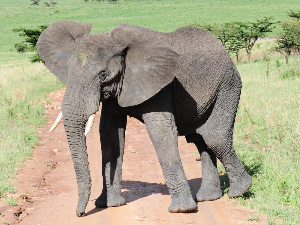 african bush elephant Loxodonta africana