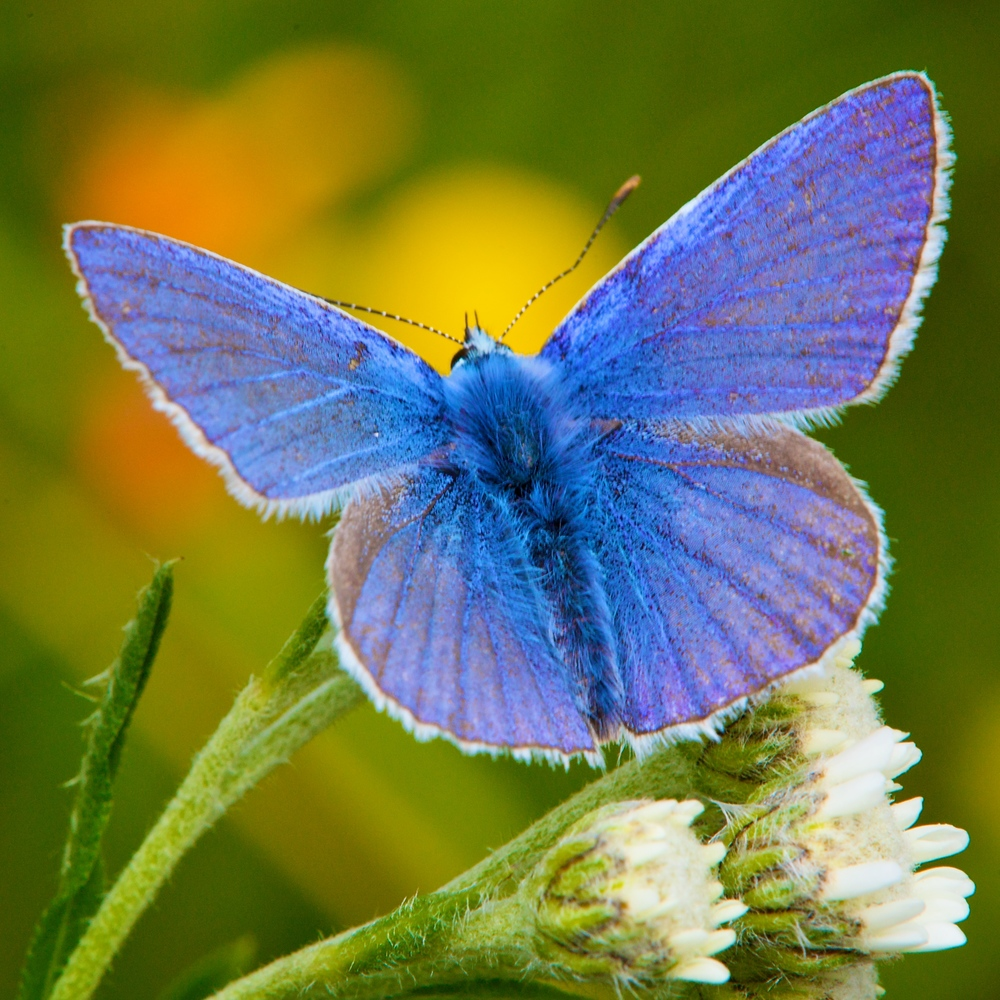 Common Blue Polyommatus icarus