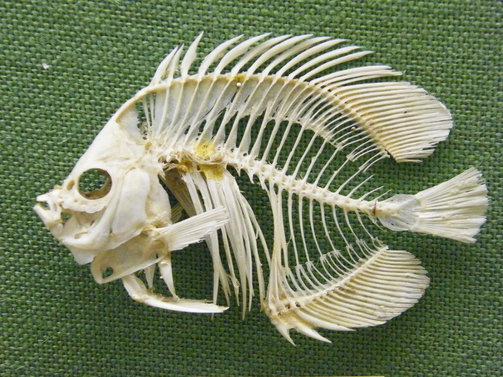 Meyer's butterfly fish Chaetodon meyeri