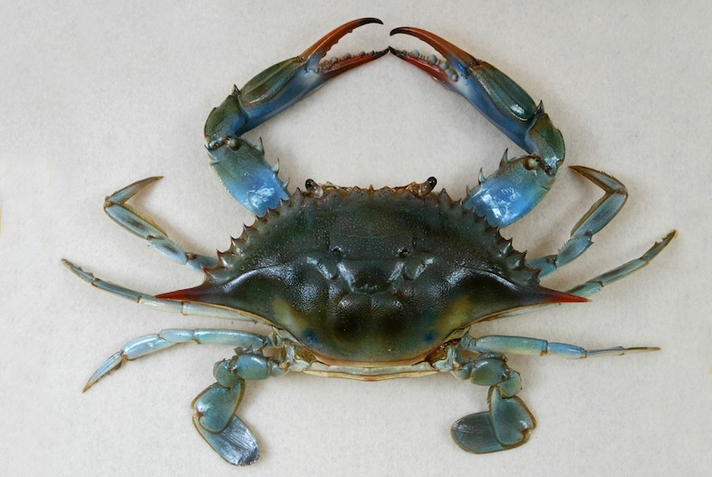 Atlantic Blue Crab Callinectes sapidus