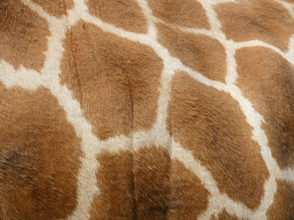 Rothschild's giraffe Giraffa camelopardalis rothschildi