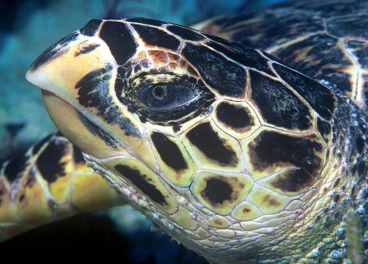 Hawksbill sea turtle Eretmochelys imbricata