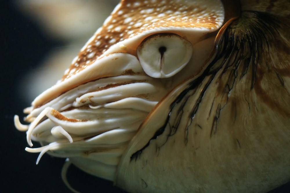 chambered nautilus Nautilus pompilius