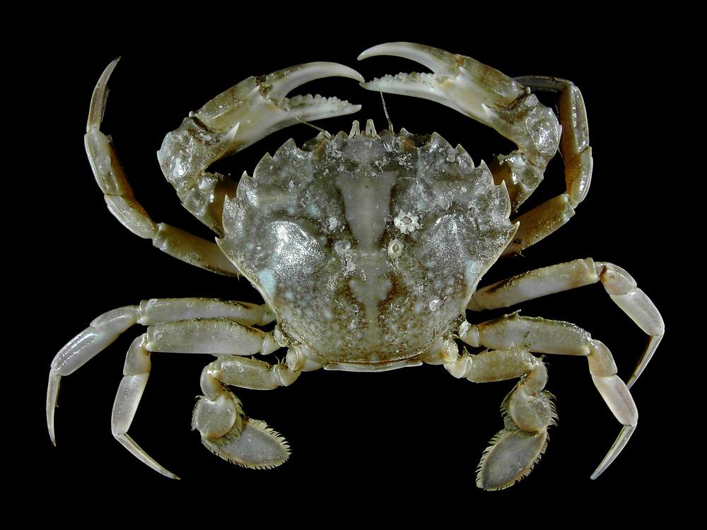 vernal crab Liocarcinus vernalis