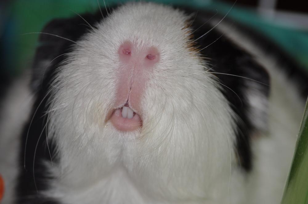 guinea pig Cavia porcellus