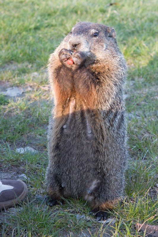 10 fun and little known facts about groundhogs na2ure