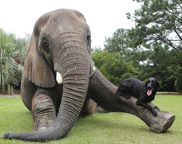 Bubbles the African Elephant and Bella the Black Labrador. CREDIT: Barry Bland