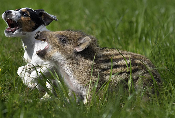 Candy the Jack Russell Terrier and Mani the Wild Boar Piglet. CREDIT: Spiegel.de