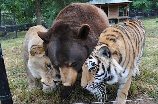 Leo the African Lion, Baloo the American Black Bear, and Shere Khan the Bengal Tiger CREDIT Barcroft Media