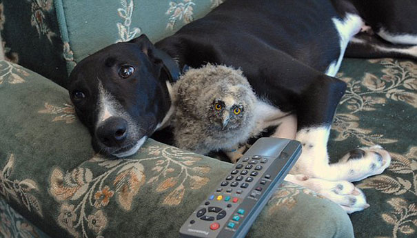Torque the Greyhound and Shrek the Screech Owl. CREDIT: Solent News and Photos