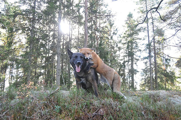 Tinni the German Shepherd Mix and SNIFFER the Wild RED Fox. CREDIT: Torgeir Berge
