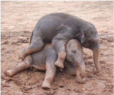 Baby Asian Elephants Playing in the Mud. CREDIT: ANDREW PESCOD, FLICKR