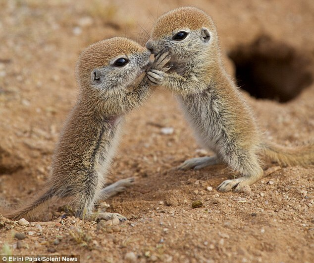 Baby Ground Squirrels Playing Outside Their Burrow. CREDIT: SOLENT NEWS
