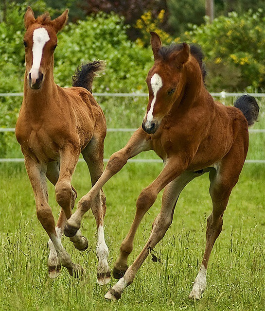 American Quarter Horse Foals Frolicking. CREDIT: SGCALLOWAY1994, FLICKR