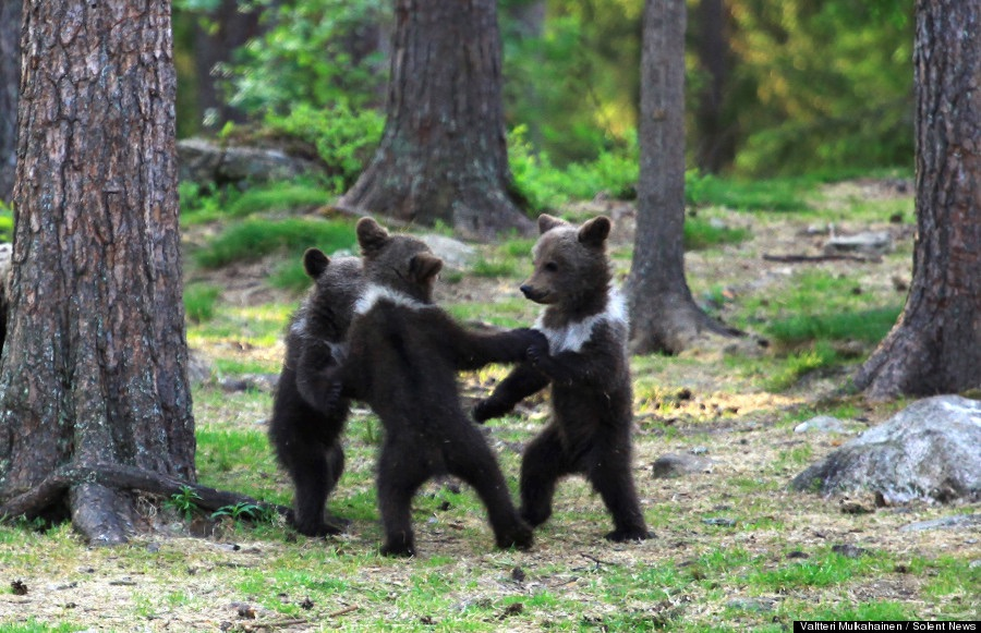 Black Bears Playing in Finland. CREDIT: SOLENT NEWS