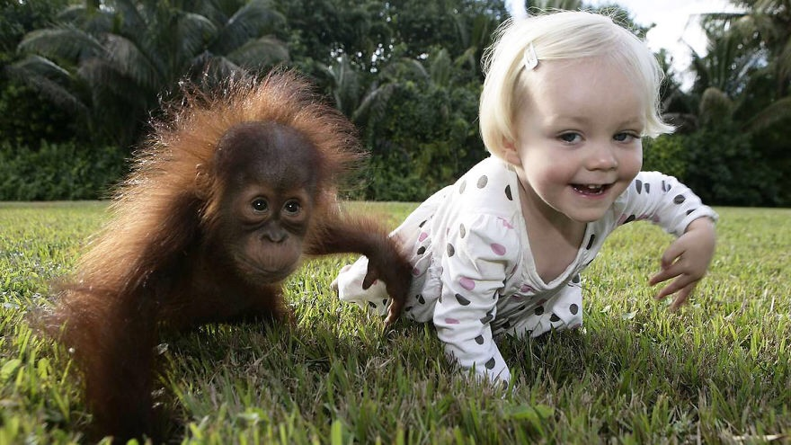 Baby Emily mimics baby orangutan Rishi. CREDIT: ANIMAL-SPACE