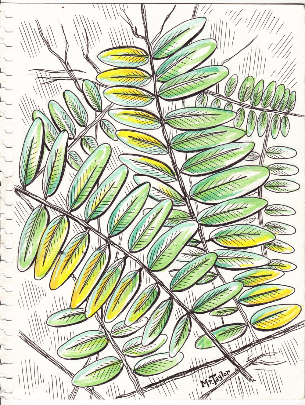 mrtaylor-honeylocust-sketch.jpg