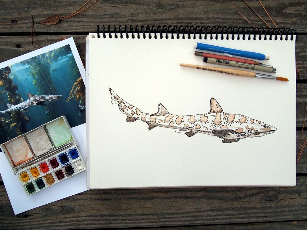 LeopardSharkDrawingWEB.jpg